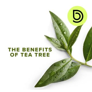 Did you know that Tea Tree is a natural anti-bacterial agent? 🌱 Tea tree oil is anessential oilobtained by steam distillation of the leaves ofMelaleuca alternifolia, a plant native to Australia. Historically, the leaves were used as a substitute for tea, which is how tea tree oil got its name. There are many health benefits of tea tree oil. ✔Kills bacteria ✔Effective against acne ✔Soothes the inflamed skin ✔Reduces dandruff and hair loss ✔Boosts immune system  #teatree #benefits #essentialoil #natural